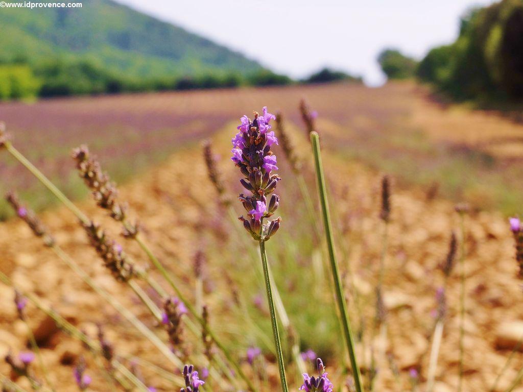 Eine Lavendelblüte bei Gréoux-les-Bains