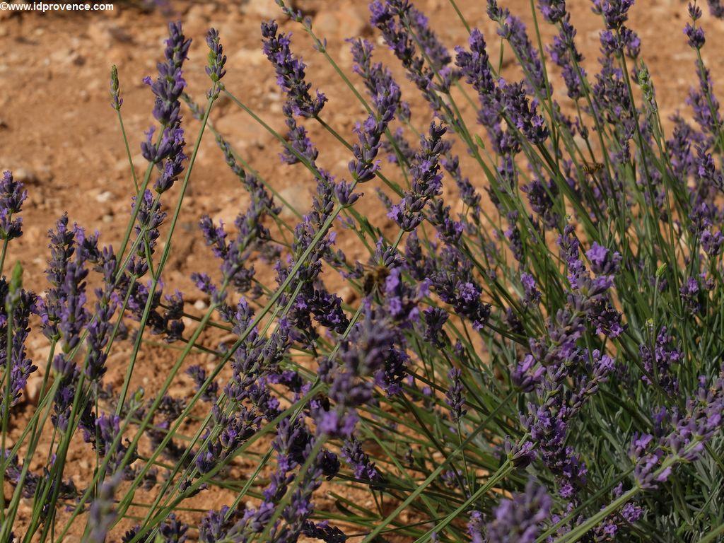 Sehenswürdigkeiten der Provence: Die Lavendelblüte.