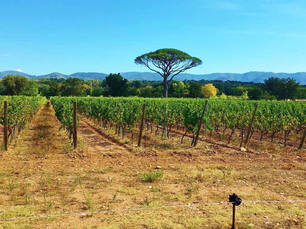 Weinfelder am Château Saint Julien d'Aille  vor dem Maurenmassiv